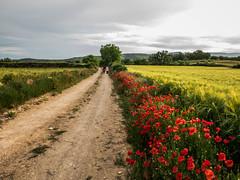 Camino de Amapolas (efe Marimon) Tags: canonpowershots120 felixmarimon montsec lanoguera catalunya vilanovademei amapolas
