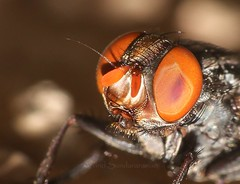 Flesh Fly (Arvind_S) Tags: fly macri photography chennai macro nature raynox250 ngc flickr eyes bugs insects wild