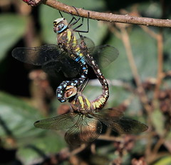 408A6207 (bonser54) Tags: dragonflies wildlife water lound hawkers