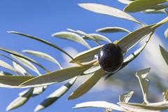Black olive (pepsamu) Tags: black olive oliva aceituna negra negro rbol olivo rama hoja 1100d canon tree olivetree