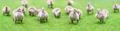 SEND IN THE CLONES! (Brandon_Hilder) Tags: geese