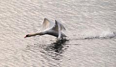 Auf auf,das Wochenende ruft !!! (   flickrsprotte  ) Tags: schwan ostsee kiel mfg5 tier vogel natur kielerfrde flickrsprotte