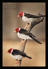 Yellow billed cardinals (Jamie B Ernstein) Tags: cardinal yellowbilledcardinal bird birds pantanal brazil matogrosso nikon wild wildlife nature