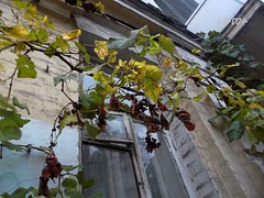 autumn mood (ruta / ) Tags: grapevine autumn urbannature