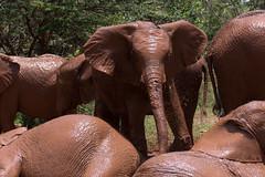 David Sheldrick Wildlife Trust (JohnMawer) Tags: kenya elephant babyelephant sheldrick nairobi mud africa