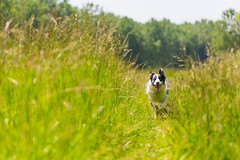 LightSpeed (icemanphotos) Tags: dog run fast speed grass bokeh focus depth bordercollie