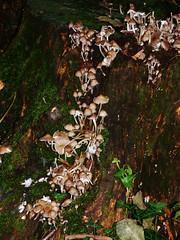 Lede Zwammen steeds maar hoger (Johnny Cooman) Tags: lede vlaanderen bel belgi natuur herfst  flemishregion flandre flandes flanders flandern belgium belgique belgien belgia autumn flora blgica aaa flhregion panasonicdmcfz200 oostvlaanderen eastflanders zwam paddenstoel mushroom macro fungi