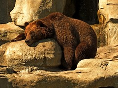 Total relaxation! (Grizzly) (Photos by the Swamper) Tags: bear grizzlybear