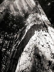 brilliant sunlight (Hero Yama) Tags: tree nature forest nikko japan monochrome blackandwhite outside
