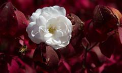 Deceived. (nzosimova) Tags: fake flower white burgundy leaves bee