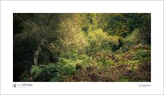 Mendelssohn's Slope (tobchasinglight) Tags: autumn2016 buckinghamshire bucks burnham burnhambeeches cityoflondon corporationoflondon englishwoodland farnhamcommon woodland paulmitchell mendelssohnsslope