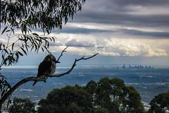 Gimme Shelter (ianbonnell) Tags: kookaburra australia melbourne victoria clouds bird cityscape landscape
