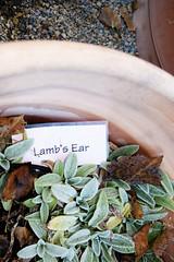 Lamb's Ear