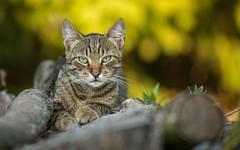 kittens (25) (Vlado Fereni) Tags: kittens kitty animals animalplanet catsdogs zagorje hrvatska hrvatskozagorje croatia nikond600 nikkor8020028
