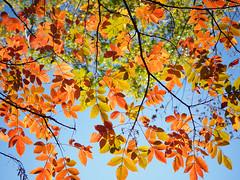 11月5日 (November 5) (wakyakyamn) Tags: em10markii leaf omd olympus tsumagojyuku jp オリンパス 葉 妻籠宿