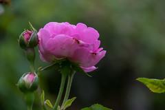 Rose (Infomastern) Tags: klostertrdgrden ystad blomma flower ros rose