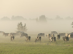 cows in the mist (Photos Ali) Tags: cow autumn hekendorp field landscape grassland outdoor holland