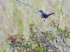 Gray Catbird and Brazilian Pepper 20161204 (Kenneth Cole Schneider) Tags: florida miramar westbrowardwca