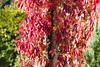 Wilder Zierwein | Parthenocissus quinquefolia (MLopht) Tags: wein hauswand pflanze parthenocissus quinquefolia