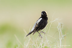 Bobolink: The bird in tuxedo wearing a funny little hat (Chantal Jacques Photography) Tags: bobolink wildlifeofsaskatchewan wildandfree bokeh depthoffield perch birdperched tuxedo yellowhat abirdintuxedo grasslandnationalpark villemariesaskatchewan naturalperch