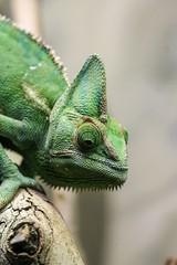 20-11-2016-taronga 532 (tdierikx) Tags: 20112016taronga tarongazoo taronga tdierikx reptiles chameleon