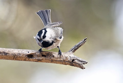 Mountain Chickadee (Poecile carolinensis); Santa Fe National Forest, NM, Thompson Ridge [Lou Feltz] (deserttoad) Tags: bird wildbird wildlife nature songbird chickadee newmexico nationalforest behavior