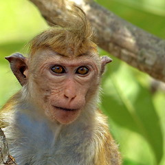 monkey (heinzkren) Tags: affe srilanka monkey eyea augen gesicht face natur wildtier animal tier bokeh unschrfe