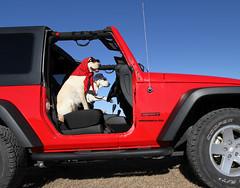 Jeeping Dawgs (scott cromwell) Tags: dog jeep dressedup scarf shades sunglasses red labrador labradorretriever yellowlabrador lab retriever driving riding littledoglaughedstories