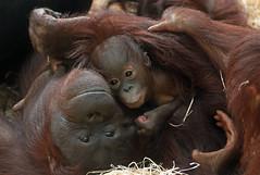 orangutan ouwehands JN6A7024 (j.a.kok) Tags: orangutan orangoetan orang monkey motherandchild moederenkind ape aap primaat primate ouwehands ouwehandsdierenpark ouwehandszoo mammal zoogdier