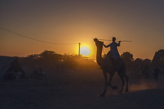 At Pushkar camel fair (Akilan T) Tags: cwc cwc561 chennaiweekendclickers pushkar pushkarmela pushkarfair camels camelfair running runningcamel dusk sunset rider camelrider warmlight india indianvillage rajasthan akilan akilanphotography canon5dmk3 canon5dmark3 canon5d canon