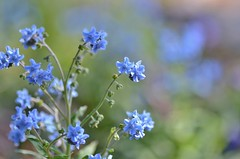 little blue flowers (snowshoe hare*(slow)) Tags: dsc0663 chineseforgetmenot flowers chinesehoundstongue cynoglossumamabile botanicalgarden シノグロッサム 支那勿忘草 シナワスレナグサ 海の中道海浜公園