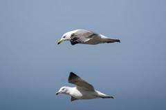 Two flying gulls (Jan van der Wolf) Tags: map138151v meeuw meeuwen nature fly unsharp depthoffield birds onscherp gulls gull