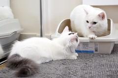 Cat teaches how to use litter box (Goboogi.Munchkin) Tags:  kitten goboogi  munchkin  chobee  kitty cat