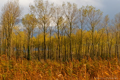 Home forest in autumn colors (Johan Konz) Tags: autumn reed trees forest urbanforest autumncolors outdoor landscape polder purmer purmerbos oudelandsdijkje purmerend waterland netherlands serene