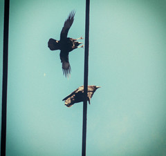 coming in for a landing (annapolis_rose) Tags: sky powerlines crow corvid crowslanding plane