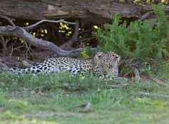Tired Beauty (jaffles) Tags: africa southafrica sdafrika kalahari kgalagadi transfrontier park ktp olympus safari wildlife natur nature leopard predator
