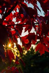 DSC_7520 (sergeysemendyaev) Tags: 2016 russia krasnodar autumn fall       red leaves maple sunset   dusk