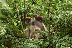 Ugandan Red Colobuses grooming (supersky77) Tags: colobus monkey scimmia colobo uganda africa grooming spulciare primate bigodi bigodiwetlandsanctuary kibale