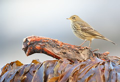 Rock pipit (Mike Mckenzie8) Tags: anthus petrosus bird wild wildlife uk british beach coast sand seaweed driftwood canon