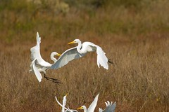 7K8A4043 (rpealit) Tags: scenery wildlife nature chincoteaque national refuge great egrets bird egret