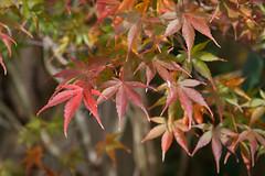 maple leaves (embem30) Tags: leaves japanesemaple fall