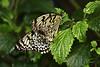 Papiervlinders (K.Verhulst) Tags: papiervlinder vlinders vlindertuin vlinder butterfly butterflies emmen wildlands wildlandsadventurezoo insect