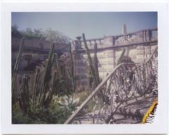 Cactus (scrapenbaker) Tags: miami usa florida polaroid landcamera fuji fp 100c fujifilm 104 instant garden cactus sun