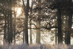 6027 (gcu_sketcher) Tags: xt1 xf55200 dawn daybreak sunrise morning winter frost sunshine somerset december woodland trees woods countryside