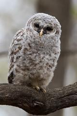 Barred Owl (owlet 1 of 3) (Jeremy Meyer) Tags: barredowl barred owl owlet bird