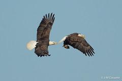 Gros bec errant - Evenibg Grosbeak.jpg (Jean-Marc Cossette) Tags: baldesgles pygargue chase fish birds oiseaux stealing raptors rapaces voler