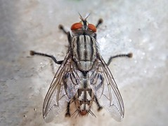 The Arrow  (chandra.nitin) Tags: flesh fly fleshfly diptera insect macro macromondays arrow mobile mimax mimaxprime aukey
