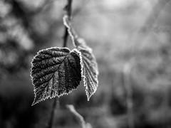 Winter bramble (fishyfish_arcade) Tags: 20mmf17 gx7 lumix panasonic panasonic20mmf17asphlumixg red berries fog frost frosty ice leaf mist weather