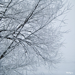 Snowy Branches - Branches enneigées (monteregina) Tags: québec canada hiver winter neige snow branches monteregina designs textures nature natur blanc white arbre tree