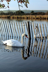 Swans divided (scott_steelegreen) Tags: swans river fence country cuckmere haven eastbourne uk water reflection